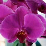 Orkidelerin Biyolojisi